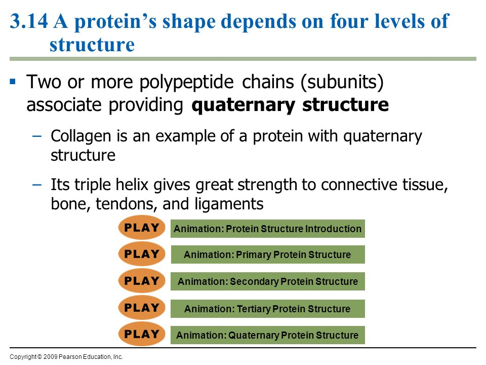 3.14 A proteins shape depends on four levels of structure Two or more polypeptide chains (subunits) associate providing quaternary structure –Collagen
