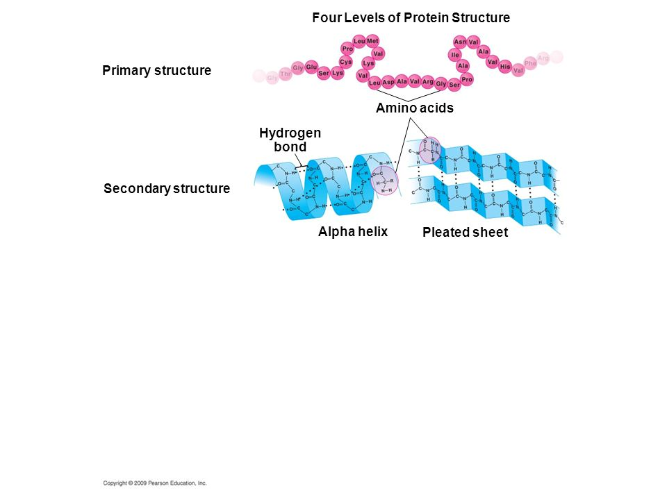 Four Levels of Protein Structure Amino acids Primary structure Alpha helix Hydrogen bond Secondary structure Pleated sheet