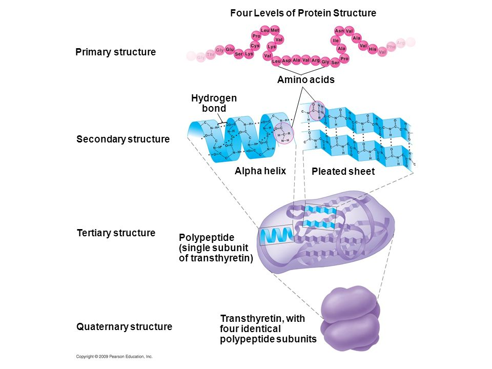 Four Levels of Protein Structure Amino acids Primary structure Alpha helix Hydrogen bond Secondary structure Pleated sheet Polypeptide (single subunit