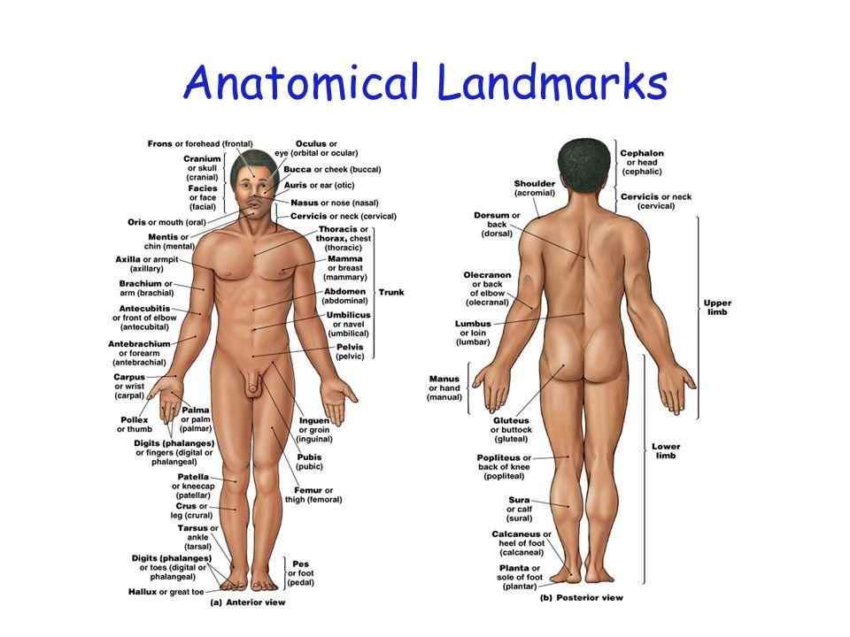 Anatomical Landmarks Figure 1–6
