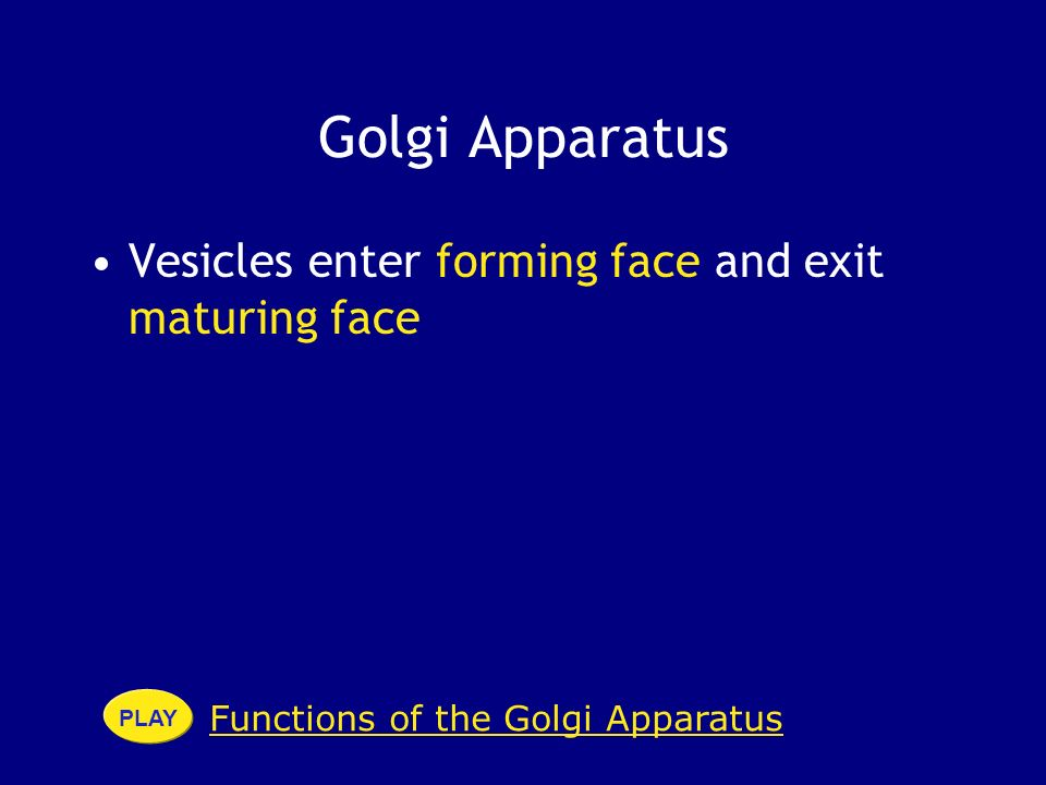 Golgi Apparatus Vesicles enter forming face and exit maturing face Functions of the Golgi Apparatus PLAY
