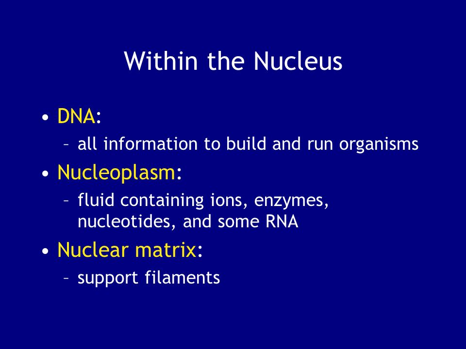 Within the Nucleus DNA: –all information to build and run organisms Nucleoplasm: –fluid containing ions, enzymes, nucleotides, and some RNA Nuclear ma