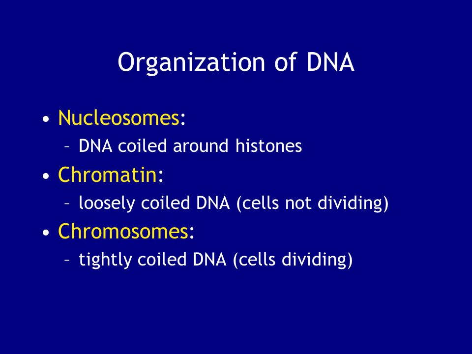 Organization of DNA Nucleosomes: –DNA coiled around histones Chromatin: –loosely coiled DNA (cells not dividing) Chromosomes: –tightly coiled DNA (cel