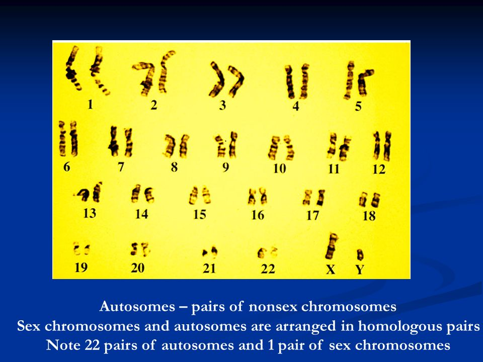Autosomes – pairs of nonsex chromosomes Sex chromosomes and autosomes are arranged in homologous pairs Note 22 pairs of autosomes and 1 pair of sex chromosomes