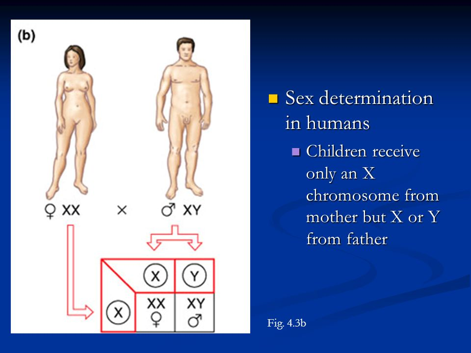 Sex determination in humans Sex determination in humans Children receive only an X chromosome from mother but X or Y from father Children receive only an X chromosome from mother but X or Y from father Fig.