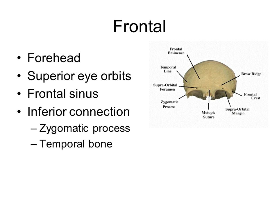 Frontal Forehead Superior eye orbits Frontal sinus Inferior connection –Zygomatic process –Temporal bone