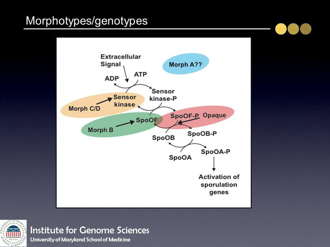 Morphotypes/genotypes Institute for Genome Sciences University of Maryland School of Medicine