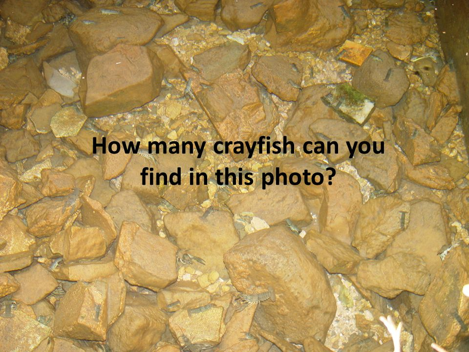 6 How many crayfish can you find in this photo?