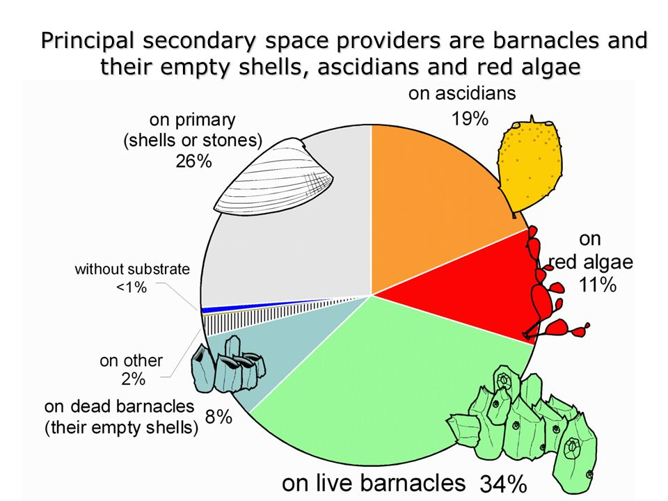 Principal secondary space providers are barnacles and Principal secondary space providers are barnacles and their empty shells, ascidians and red algae