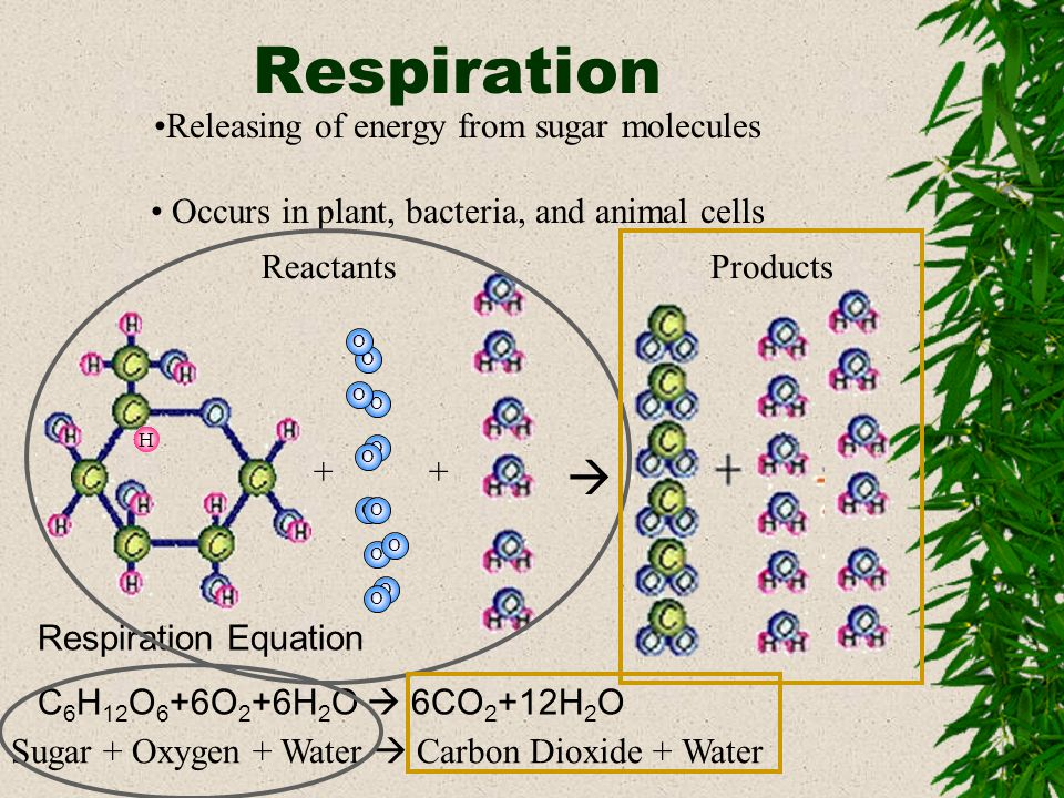 Compare Respiration and Photosynthesis Photosynthesis Equation 6CO 2 +12H 2 O C 6 H 12 O 6 +6O 2 +6H 2 O (This Process absorbs energy as Sunlight) Respiration Equation C 6 H 12 O 6 +6O 2 +6H 2 O 6CO 2 +12H 2 O ( This Process releases energy for the plant or animal) Photosynthesis needs Energy, Carbon Dioxide and Water (Reactants) Respiration releases Energy, Carbon Dioxide and Water (Products) Photosynthesis makes Sugar to store Energy and gets rid of Oxygen and Water (Products) Respiration uses Water and Oxygen to break up Sugar and release Energy (Reactants)