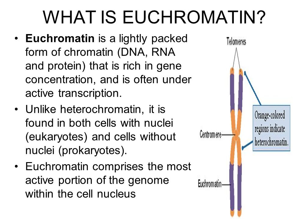 WHAT IS EUCHROMATIN? Euchromatin is a lightly packed form of chromatin (DNA, RNA and protein) that is rich in gene concentration, and is often under a