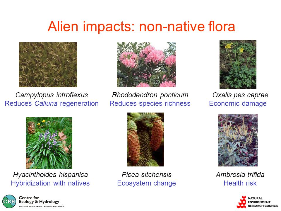 Alien impacts: non-native flora Campylopus introflexus Reduces Calluna regeneration Rhododendron ponticum Reduces species richness Picea sitchensis Ecosystem change Hyacinthoides hispanica Hybridization with natives Ambrosia trifida Health risk Oxalis pes caprae Economic damage