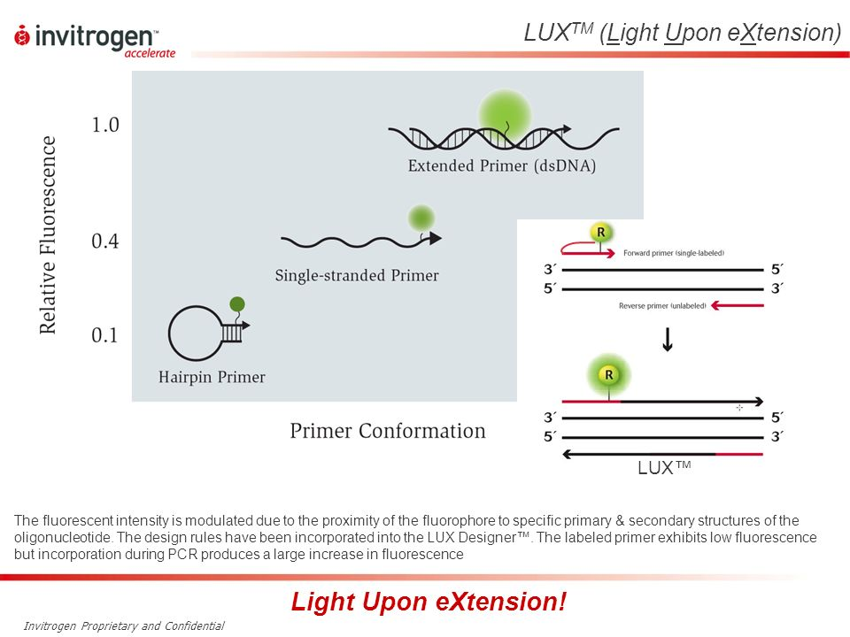 Invitrogen Proprietary and Confidential LUX TM (Light Upon eXtension) The fluorescent intensity is modulated due to the proximity of the fluorophore t