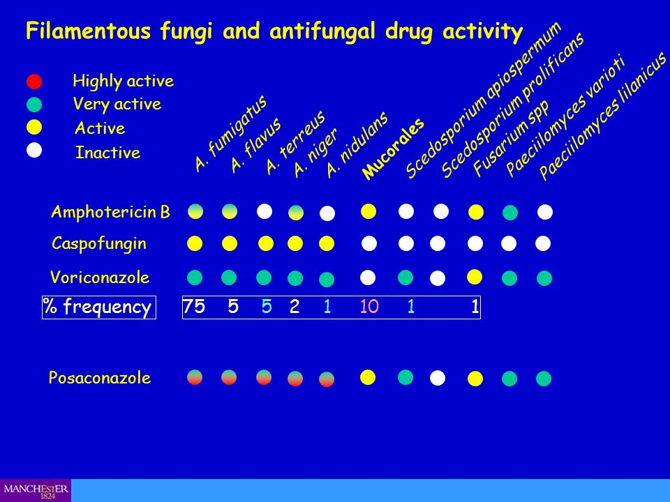Amphotericin B Filamentous fungi and antifungal drug activity Active Very active Highly active Inactive A. fumigatus A. flavus A. niger Mucorales Sced