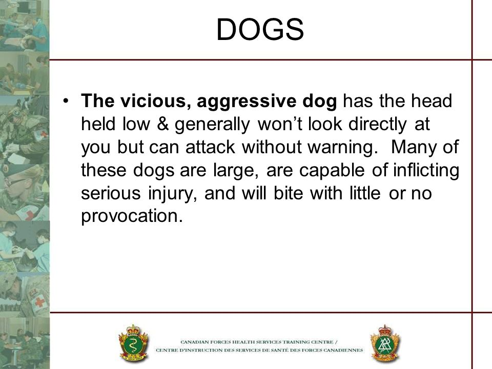 DOGS The vicious, aggressive dog has the head held low & generally wont look directly at you but can attack without warning. Many of these dogs are la