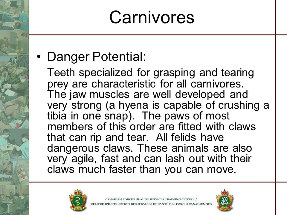 Carnivores Danger Potential: Teeth specialized for grasping and tearing prey are characteristic for all carnivores. The jaw muscles are well developed