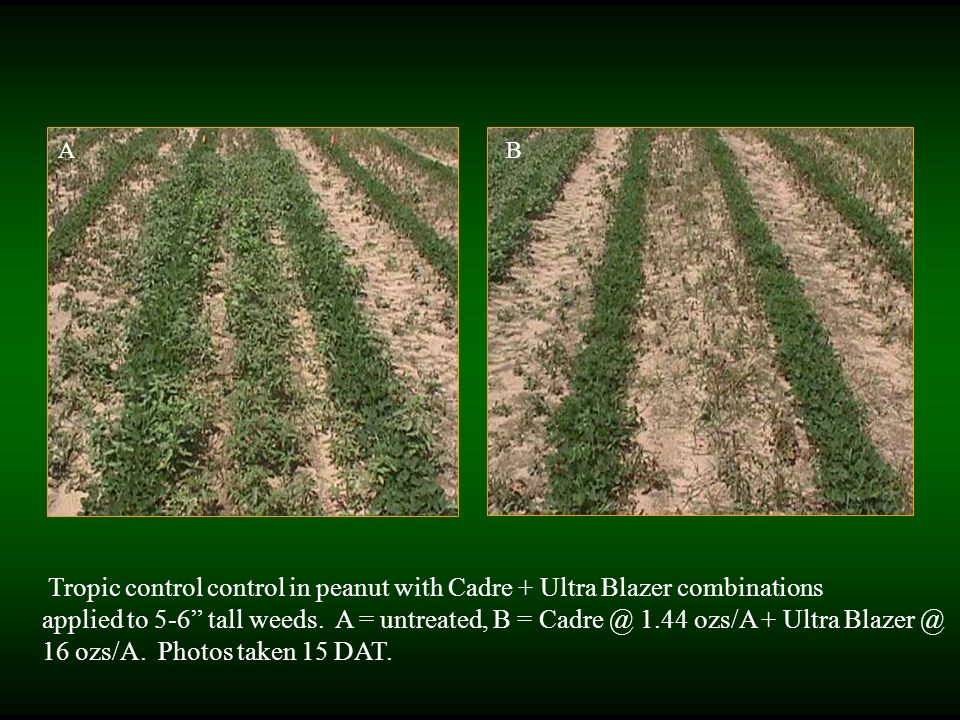 Tropic control control in peanut with Cadre + Ultra Blazer combinations applied to 5-6 tall weeds.