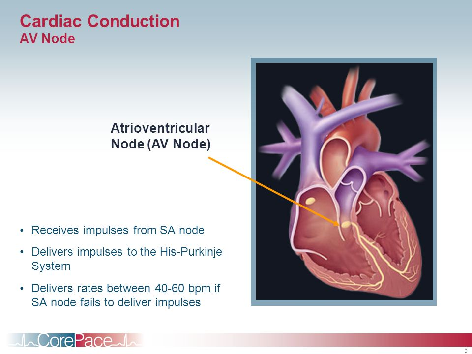 5 Cardiac Conduction AV Node Receives impulses from SA node Delivers impulses to the His-Purkinje System Delivers rates between 40-60 bpm if SA node f