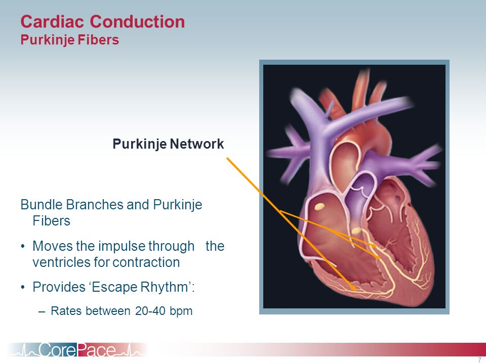 7 Cardiac Conduction Purkinje Fibers Bundle Branches and Purkinje Fibers Moves the impulse through the ventricles for contraction Provides Escape Rhyt