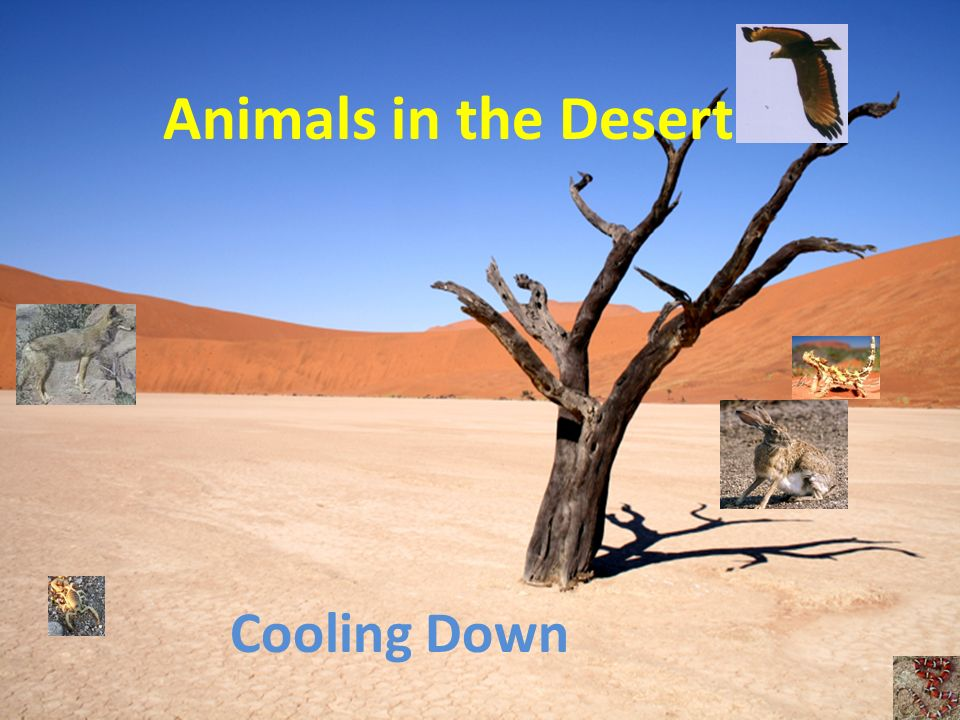 Problem: The desert is very hot during the day Over 100 degrees How do animals stay cool?