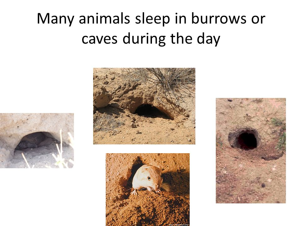 Many animals sleep in burrows or caves during the day
