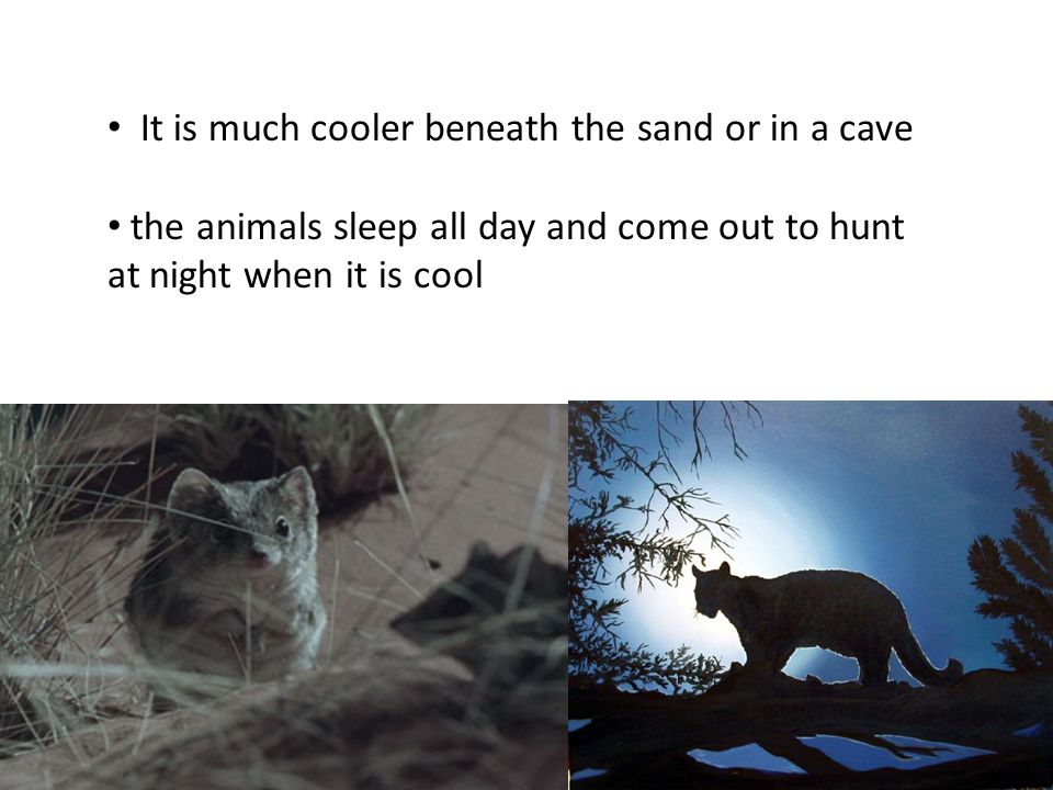 desert day timeanimals very hot keep cool Burrows or caves day coolsleep Some animals sleep during the day in burrows or caves.