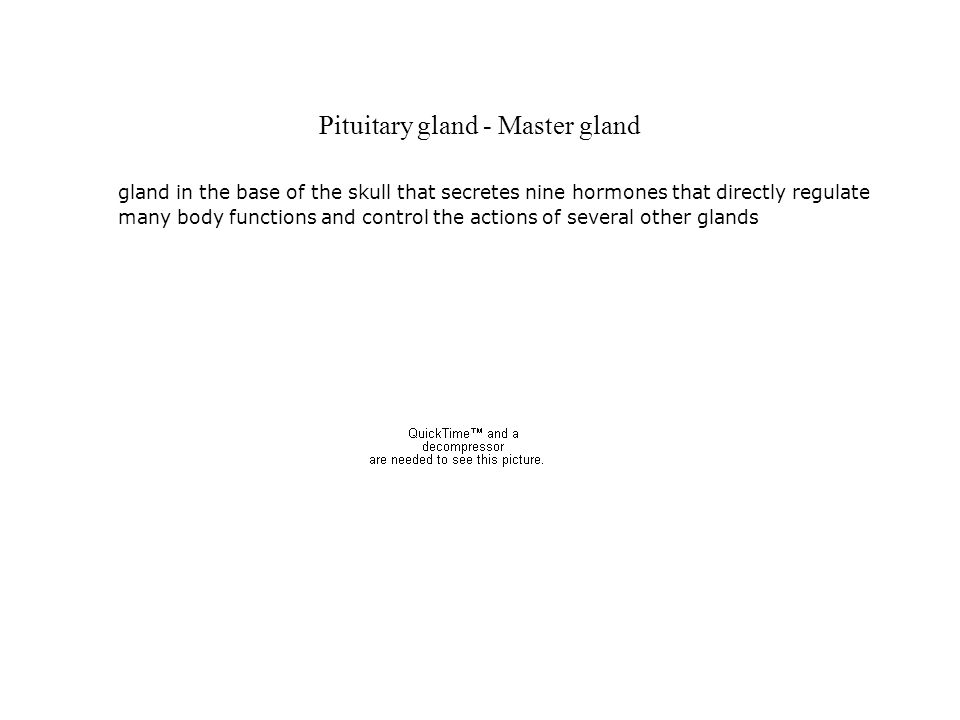 Pituitary gland - Master gland gland in the base of the skull that secretes nine hormones that directly regulate many body functions and control the a