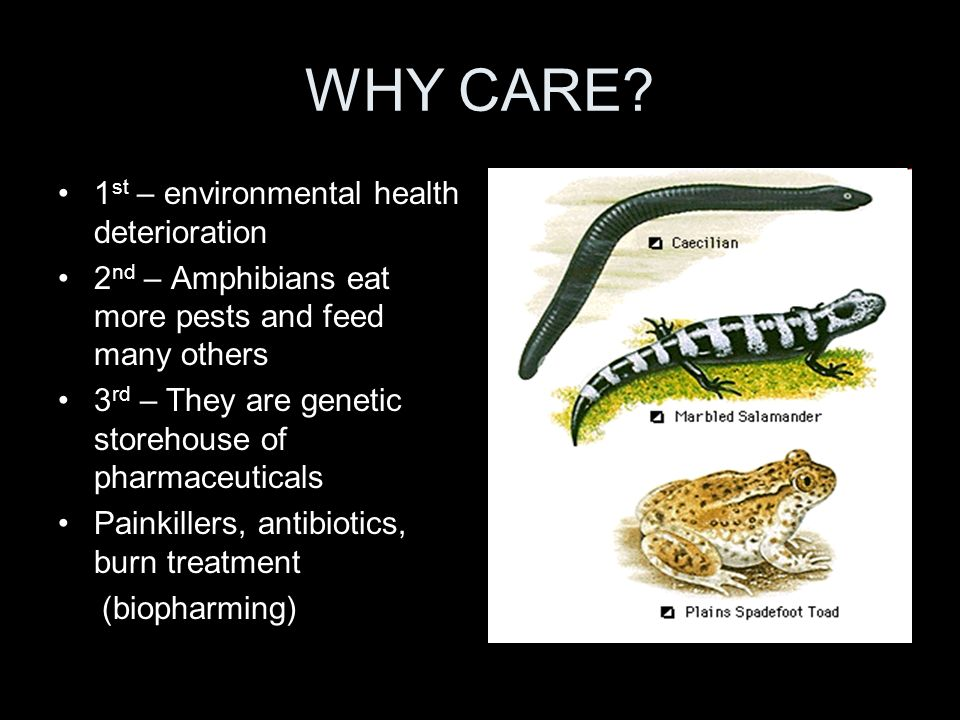 WHY CARE? 1 st – environmental health deterioration 2 nd – Amphibians eat more pests and feed many others 3 rd – They are genetic storehouse of pharma
