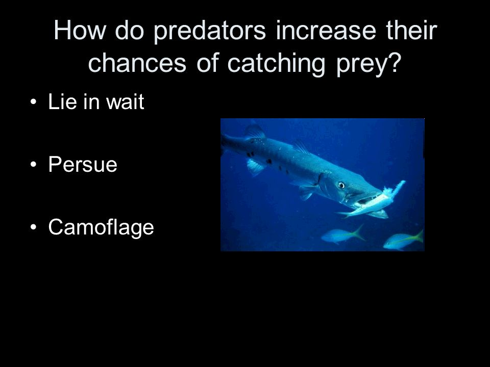 How do predators increase their chances of catching prey? Lie in wait Persue Camoflage