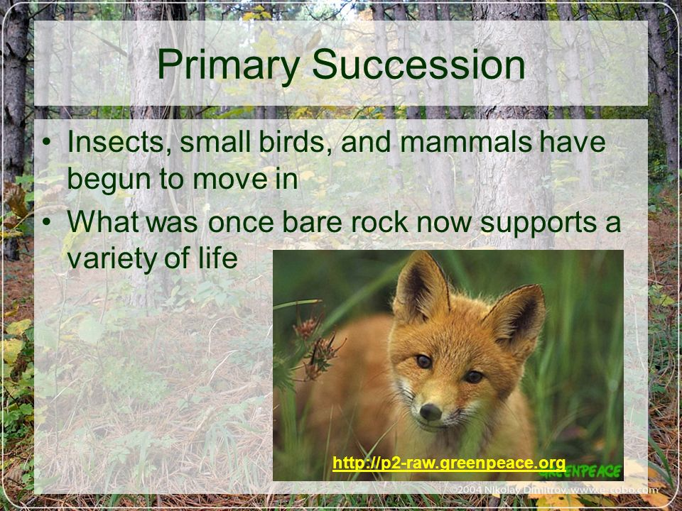 Primary Succession Insects, small birds, and mammals have begun to move in What was once bare rock now supports a variety of life http://p2-raw.greenp