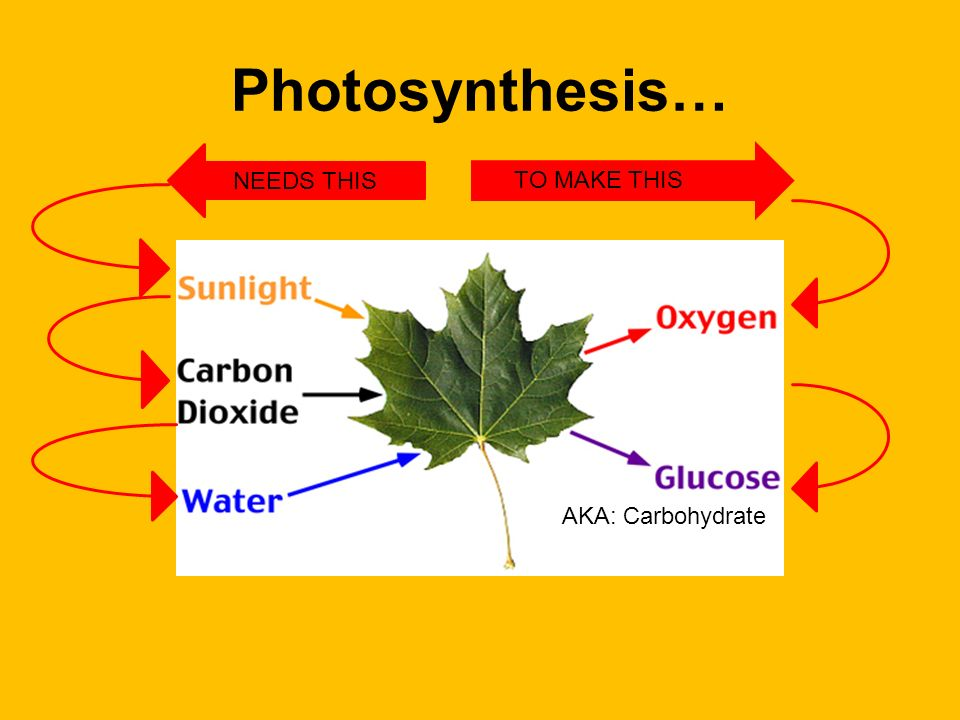 8. What does photosynthesis produce? Oxygen and Glucose ( also known as a carbohydrate ).