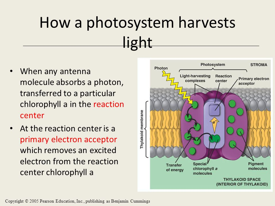 Photosystem Photosystem is composed of the Light Harvesting Complex (LHC) and the reaction center. The LHC is composed of hundreds of molecules of chl