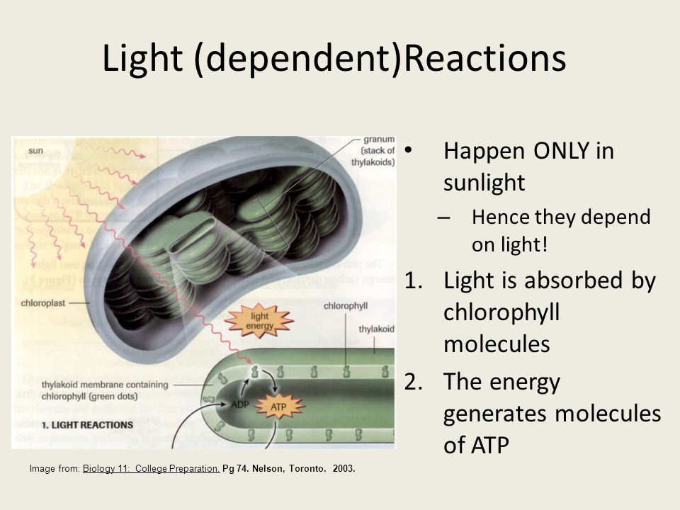 No O 2 generated No NADH generated Only ATP generated Cyclic electron flow cyclic photophosphorylation P700 Copyright © 2005 Pearson Education, Inc.,