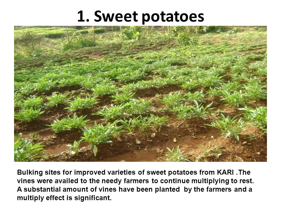 1. Sweet potatoes Bulking sites for improved varieties of sweet potatoes from KARI.The vines were availed to the needy farmers to continue multiplying
