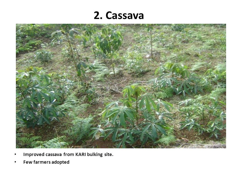 2. Cassava Improved cassava from KARI bulking site. Few farmers adopted