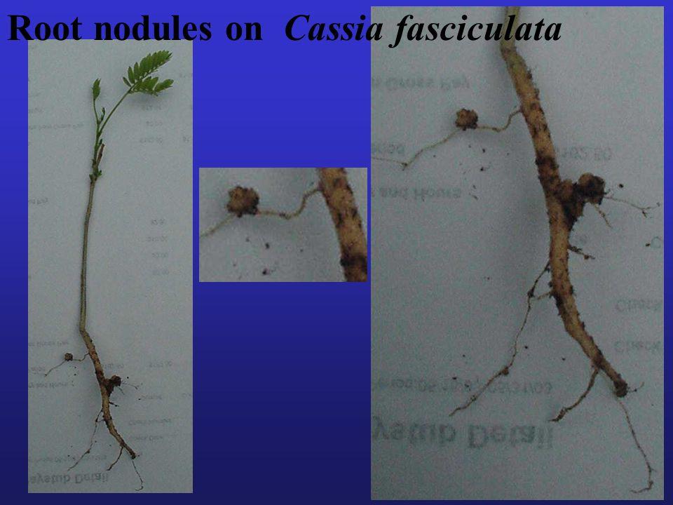 47 Root nodules on Cassia fasciculata