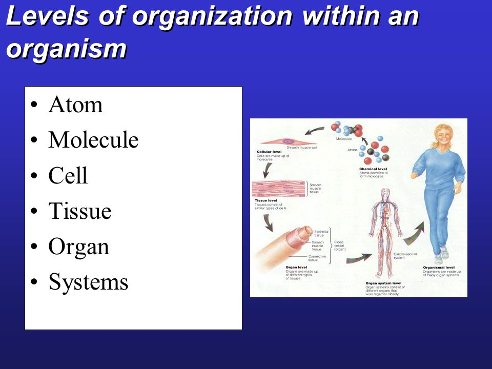 Levels of organization within an organism Atom Molecule Cell Tissue Organ Systems