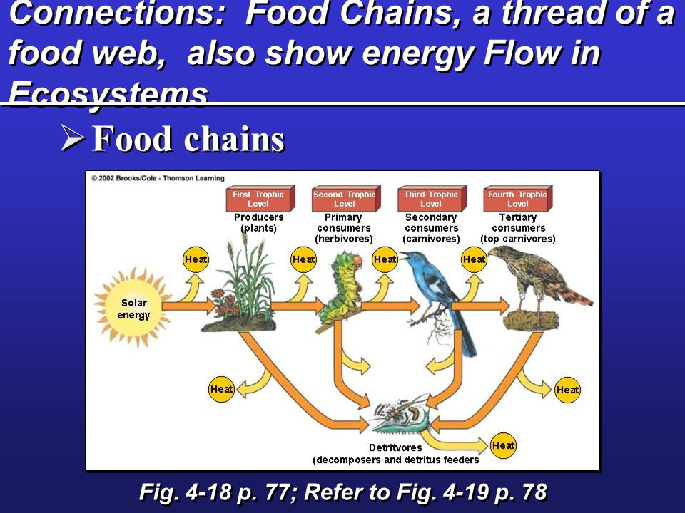 Connections: Food Chains, a thread of a food web, also show energy Flow in Ecosystems Fig. 4-18 p. 77; Refer to Fig. 4-19 p. 78 Food chains