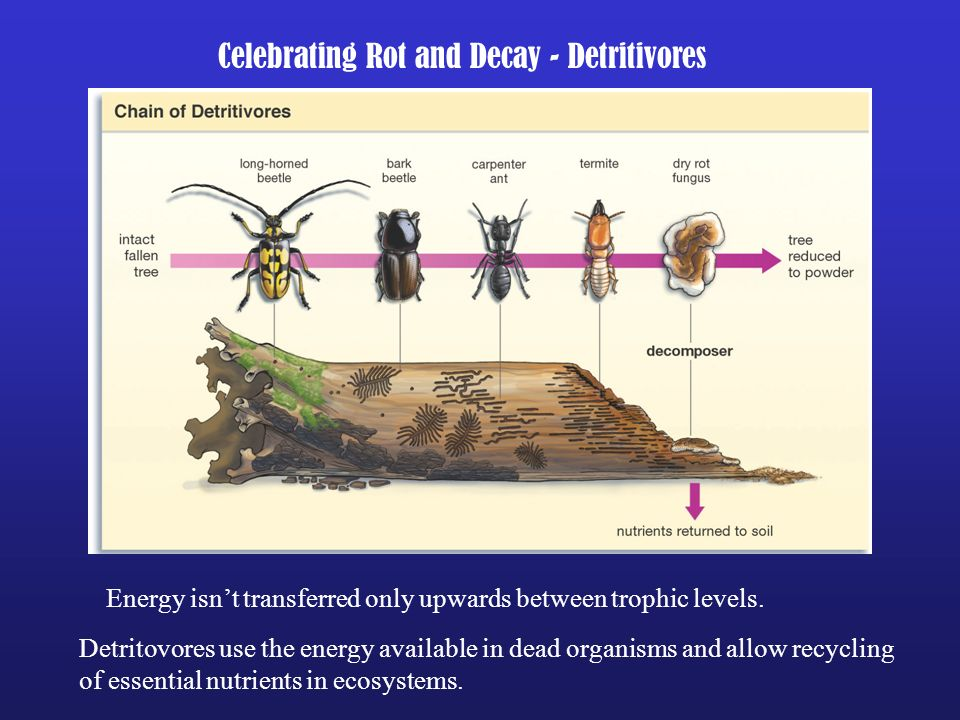 Celebrating Rot and Decay - Detritivores Energy isnt transferred only upwards between trophic levels. Detritovores use the energy available in dead or