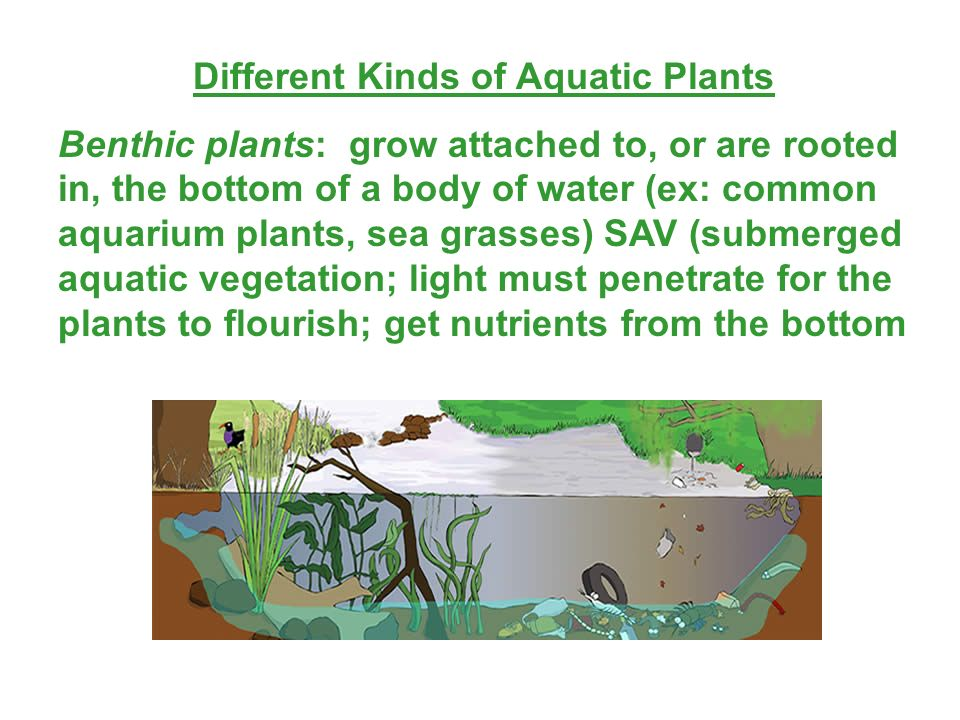 Different Kinds of Aquatic Plants Benthic plants: grow attached to, or are rooted in, the bottom of a body of water (ex: common aquarium plants, sea g