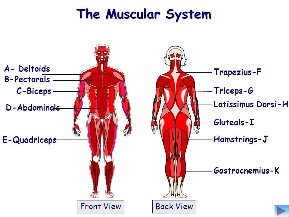 B-Pectorals A- Deltoids C-Biceps D-Abdominals E-Quadriceps Hamstrings-J Latissimus Dorsi-H Trapezius-F Triceps-G Gastrocnemius-K Gluteals-I Front View
