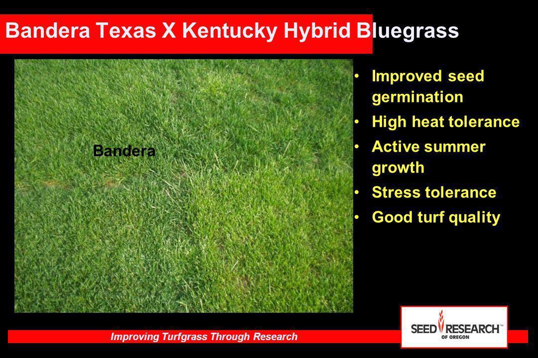 Improving Turfgrass Through Research Bandera Texas X Kentucky Hybrid Bluegrass Bandera Improved seed germination High heat tolerance Active summer gro