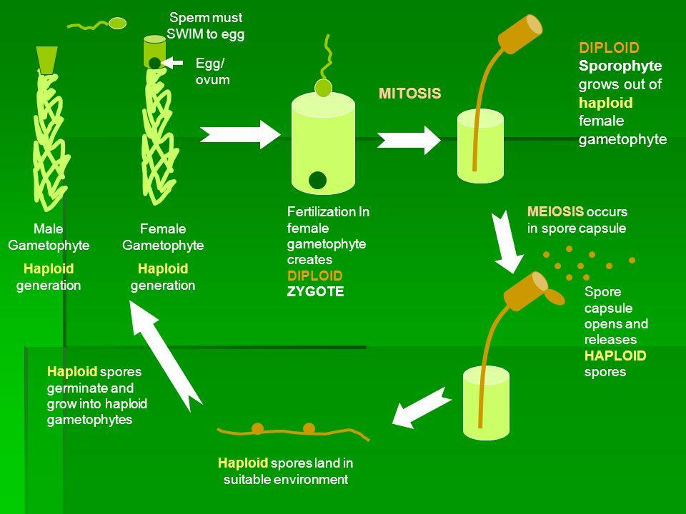 Male Gametophyte Haploid generation Female Gametophyte Haploid generation Sperm must SWIM to egg Egg/ ovum Fertilization In female gametophyte creates