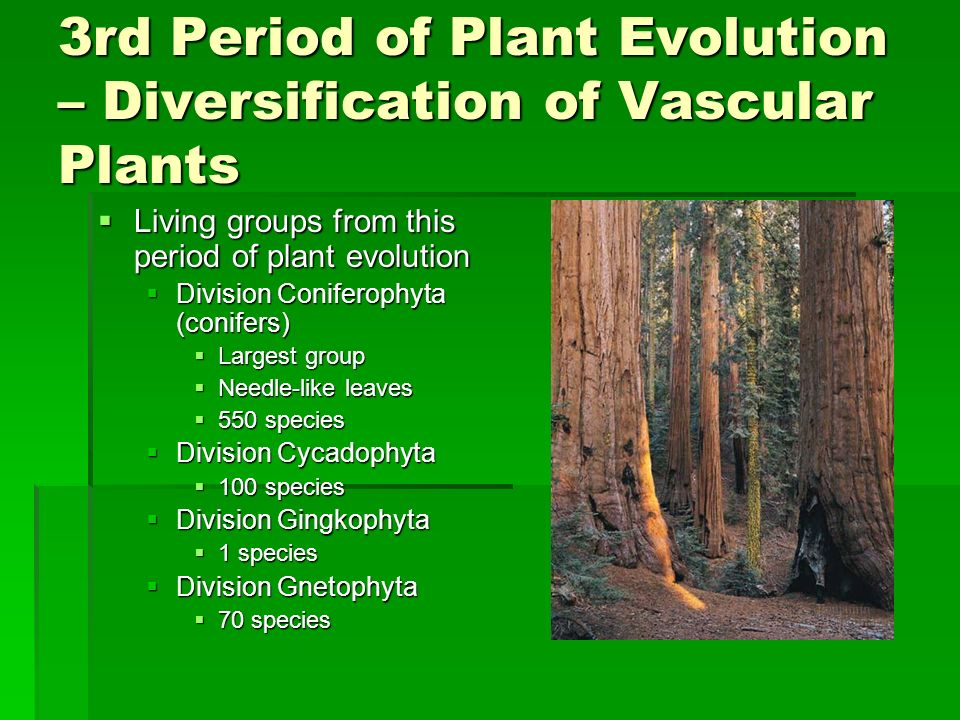 3rd Period of Plant Evolution – Diversification of Vascular Plants Living groups from this period of plant evolution Living groups from this period of