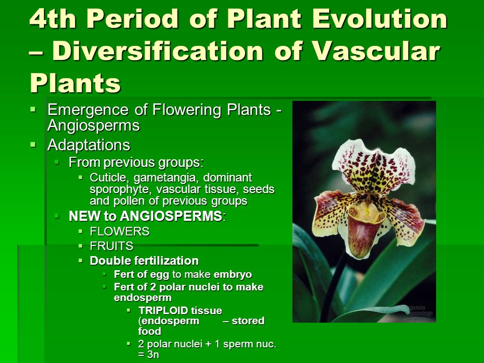 4th Period of Plant Evolution – Diversification of Vascular Plants Emergence of Flowering Plants - Angiosperms Emergence of Flowering Plants - Angiosp