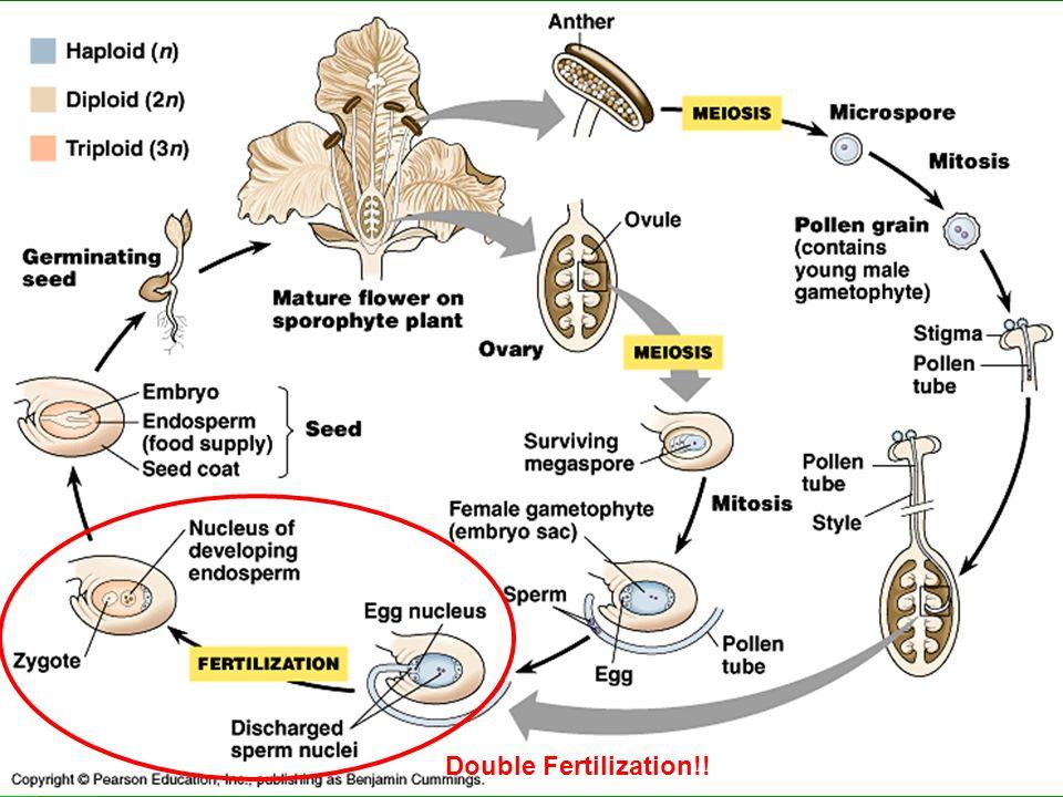 Double Fertilization!!