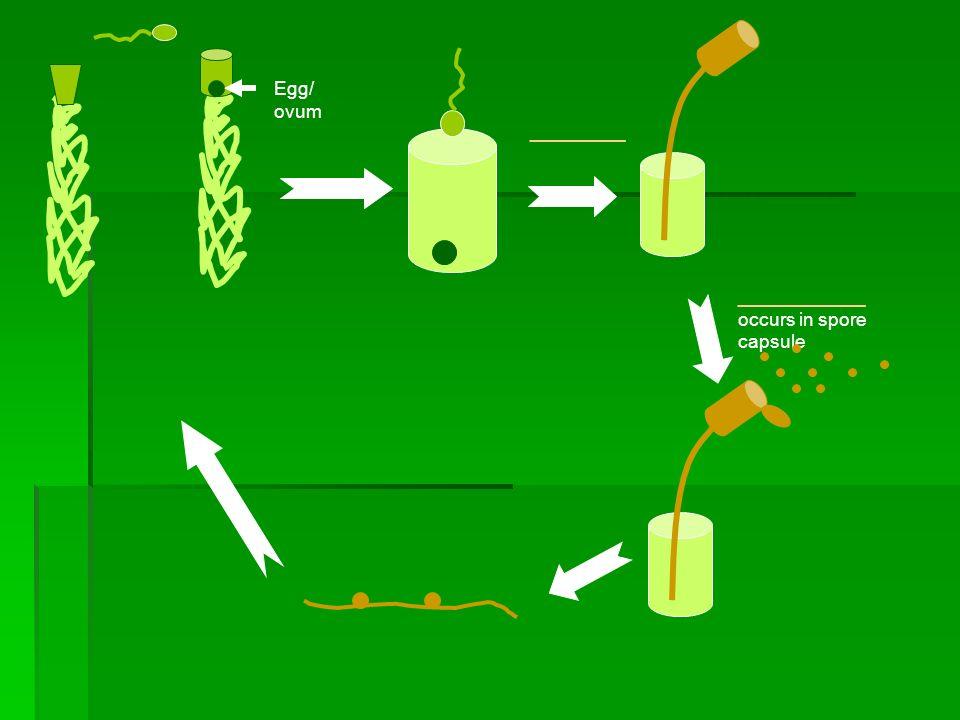 Egg/ ovum ________ ____________ occurs in spore capsule