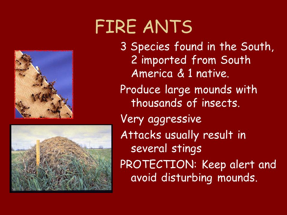 FIRE ANTS 3 Species found in the South, 2 imported from South America & 1 native. Produce large mounds with thousands of insects. Very aggressive Atta