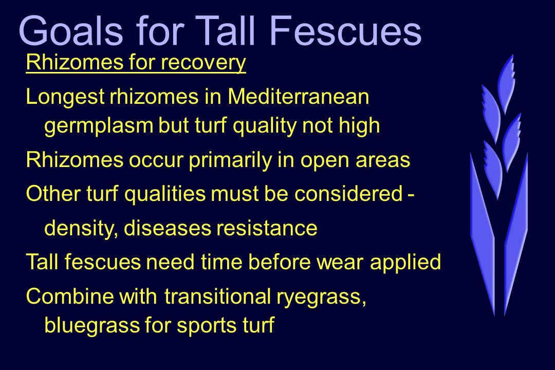 Goals for Tall Fescues Rhizomes for recovery Longest rhizomes in Mediterranean germplasm but turf quality not high Rhizomes occur primarily in open ar