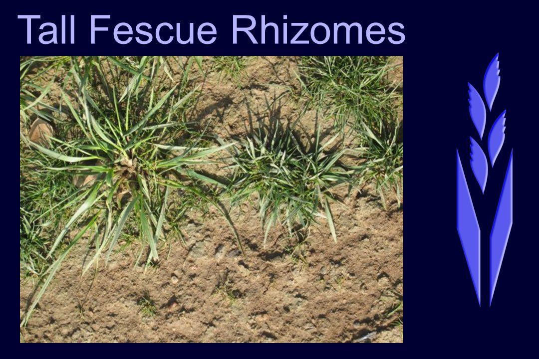 Tall Fescue Rhizomes